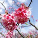 知ってますか?沖縄の桜は北から南へ縦断する。