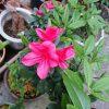 ツツジが咲いた。ツツジが咲いた。ピンクがかった赤いツツジが~
