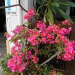 自宅の花もSNSの発信も自己満足ではいけない。見た人を喜ばせるものでなくちゃね。
